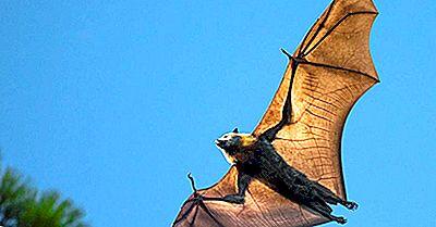 Zorros Voladores: Los Murciélagos Más Grandes Del Mundo