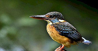 Le Quattro Specie Di Martin Pescatore Gravemente Minacciate Di Estinzione