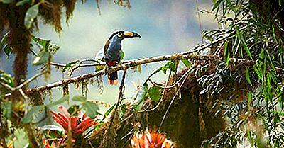 Le Quattro Specie Extant Di Tucano Di Montagna Trovato Nelle Montagne Delle Ande