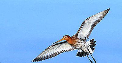 Las Cuatro Especies De Godwits Viviendo En El Mundo Hoy