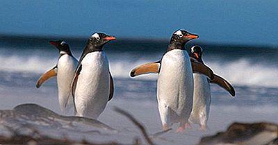 Datos De Gentoo Penguin: Animales De La Antártida