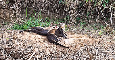 Giant Otter Facts - Djur I Sydamerika