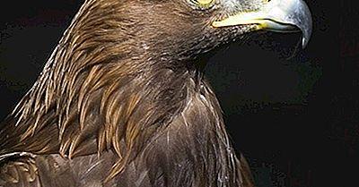 Golden Eagle Fakta: Djur I Nordamerika