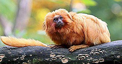 Golden Lion Tamarin Fatti: Animali Del Sud America