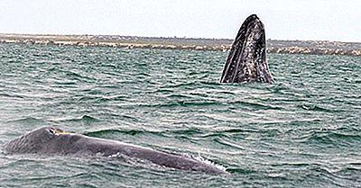 Fatti Della Balena Grigia: Animali Del Nord America