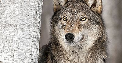 O Lobo Cinzento: Animais Da América Do Norte