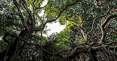 Der Große Banyan-Baum Von Indien