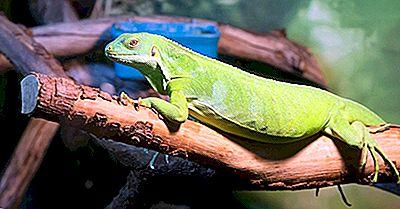 Fatos Da Iguana Verde: Animais Da América Do Norte