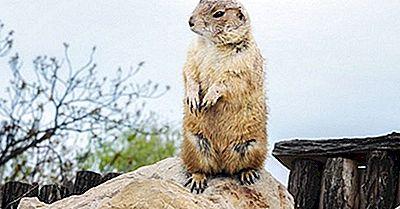 Groundhog Fakta: Djur I Nordamerika