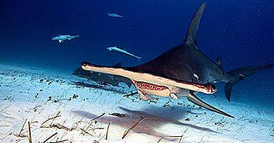 Datos Del Tiburón Martillo: Animales Del Océano