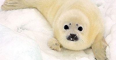Fatti Della Foca Arpa: Animali Dell'Artico