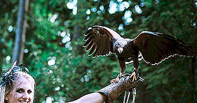 Harris 'Hawk Fakten: Tiere Von Nordamerika