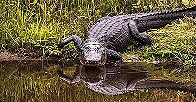 Hoeveel Soorten Alligators Leven Er Vandaag In De Wereld?