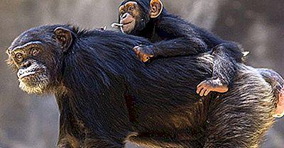 ¿Cuántos Tipos De Chimpancés Hay?