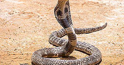 ¿Cuántos Tipos De Cobras Hay? ¿Qué Especies Son Más Venenosas?