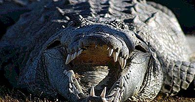 Quantos Tipos De Crocodilos Vivem No Mundo Hoje?