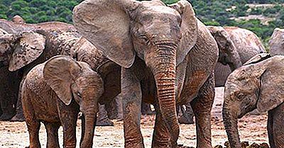 Quantos Tipos De Elefantes Existem?
