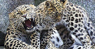 Quanti Tipi Di Leopardi Vivono Nel Mondo Oggi?