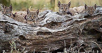 Quanti Tipi Di Lynx Vivono Nel Mondo Oggi?