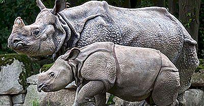 Den Indiske Rhinoceros Befolkning: Vigtige Fakta Og Tallene