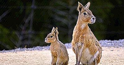 Faits Intéressants Sur Le Mara Patagonien