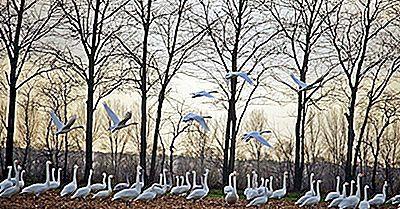 ¿Disminuye La Población De Aves Migratorias De Canadá?