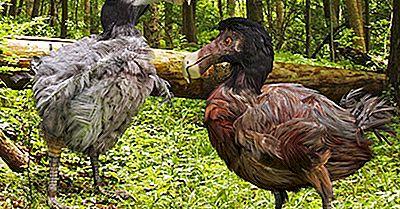Este Micul Dodo Pe Marginea Extincției?