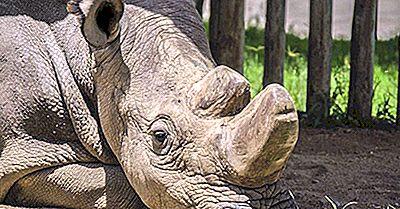 Le Rhinocéros Blanc Du Nord Est-Il Au Bord De L'Extinction?