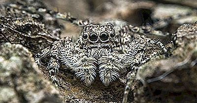 Jumping Spider Facts - Animali Del Nord America