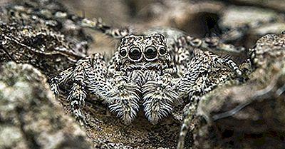 Jumping Spider Facts - Animaux De L'Amérique Du Nord