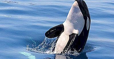 Killer Whale Facts: Animali Del Nord America