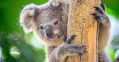 Fapte De Koala: Animalele Din Oceania