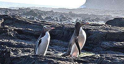 Una Lista De Especies De Pingüinos En Peligro De Extinción