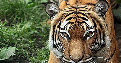 Malaisie: Les Mammifères En Danger Critique D'Extinction
