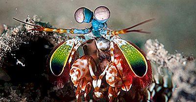 Mantis Rejer Fakta - Dyr Of The Oceans