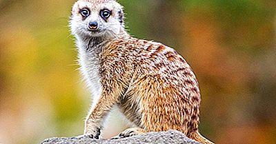Hechos De Meerkat: Animales De África
