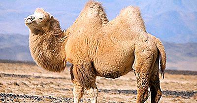 I Mammiferi Più Minacciati Della Mongolia