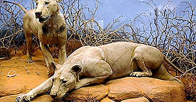 I Lions Che Mangiano Più Mortalmente Nella Storia