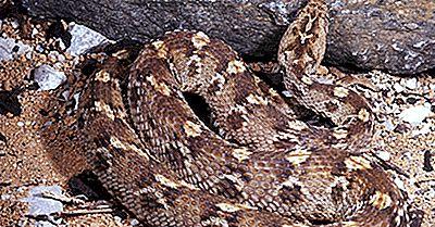 Die Giftigsten Schlangen Von Ägypten
