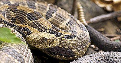 I Serpenti Più Velenosi Della Florida