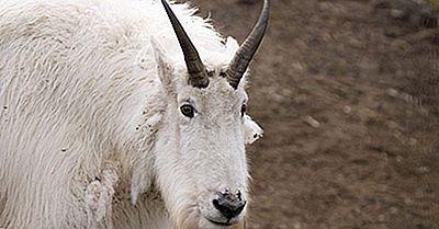 Faits Sur Les Chèvres De Montagne: Animaux D'Amérique Du Nord