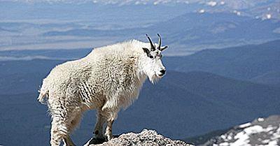 Fatos Do Leão Da Montanha: Animais De America Do Norte