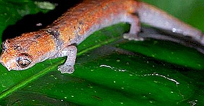 Einheimische Amphibienarten Von Peru