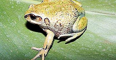 Amphibiens Indigènes D'Éthiopie