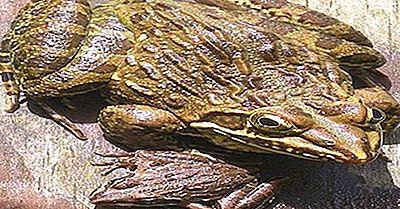 Native Amfibier Av Kenya