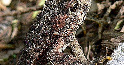 Einheimische Amphibien Von Mexiko