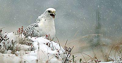 Einheimische Vögel Von Grönland