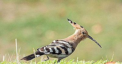 Oiseaux Indigènes De Mongolie