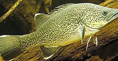 Pesce Nativo Dell'Australia