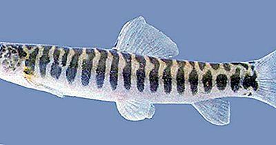 Gebürtiger Fisch Von Äthiopien